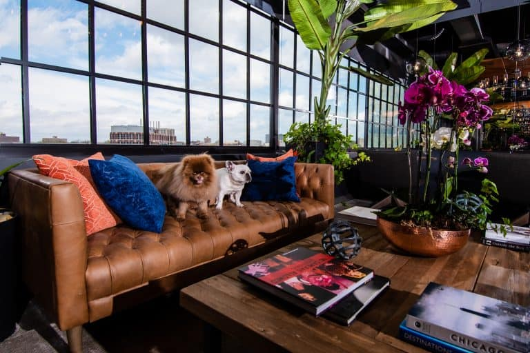 Furry friends at CRC's rehab center in Chicago sitting on a copper couch in the lobby seating area surrounded by navy and royal blue pillows and modern decor.